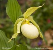 Cypripedium ventrocosum Light