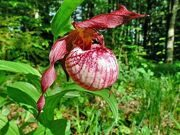 Cypripedium 'Anna' Frosch