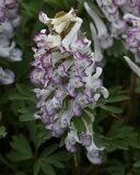 full_Corydalis_solida_Merlin_-02
