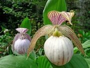 Cypripedium 'Pluto' Frosch