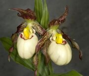 Cypripedium 'Ingrid'