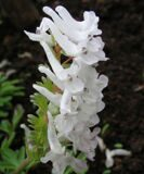 full_Corydalis_solida_Gandalf_-04
