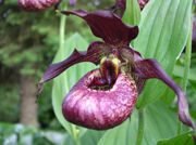 cypripedium 'pixi' frosch